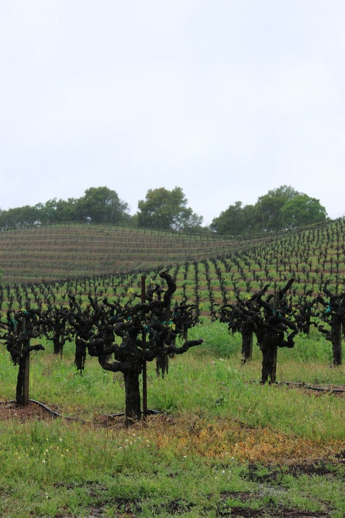 ワイナリー周辺の35年以上になる高い樹齢のジンファンデル。ロゼにも用いられる