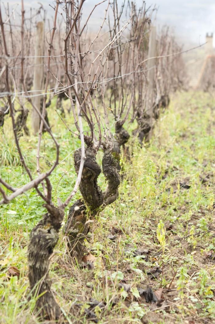 ドメーヌの前は樹齢45年のアリゴテの畑