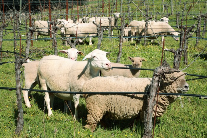 牧場と見紛うほどの羊たち。全部でなんと53頭