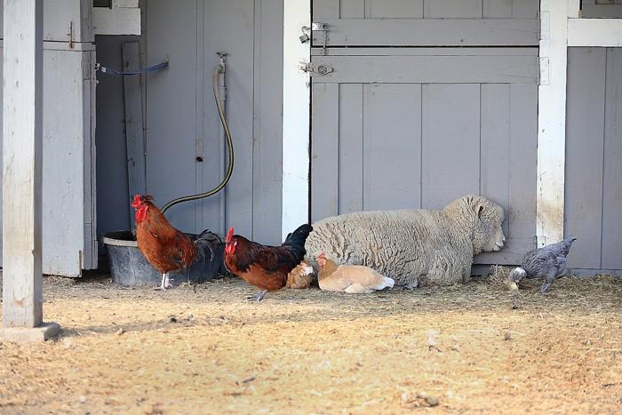 羊に鶏もワイナリーの立派な一員。羊は草を食み、鶏は卵白を清澄に使用する
