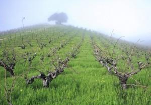 カリフォルニアのジンファンデル-1-カリフォルニアの誇りジンファンデルのワイン
