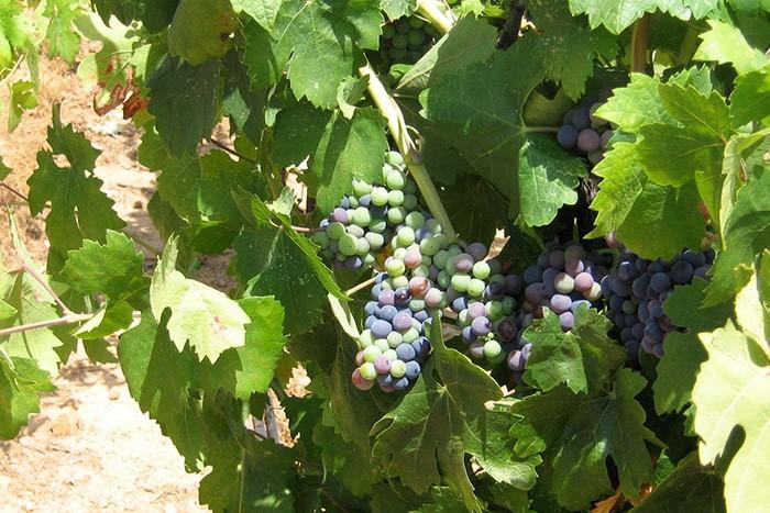 ジンファンデルは均一に熟さない。房のなかには濃い紫、青、緑色などの顆粒が見られる。ボーグル・ヴィンヤードのジンファンデル畑から